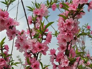 4月�p梨花