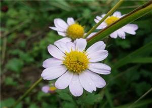 五岳寨白色花瓣集锦