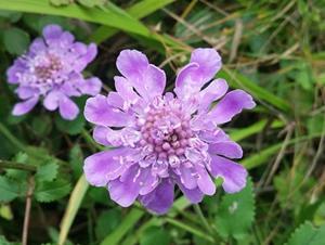 五岳寨紫色花草集�\